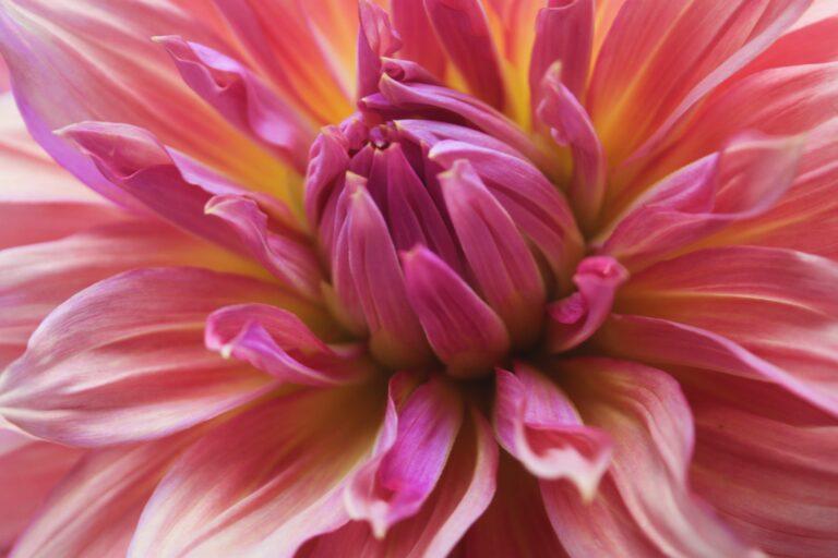 Dahlia roze 2